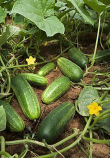 Steps in Growing Cucumbers