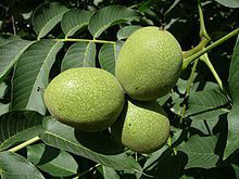 Steps in Growing Walnuts