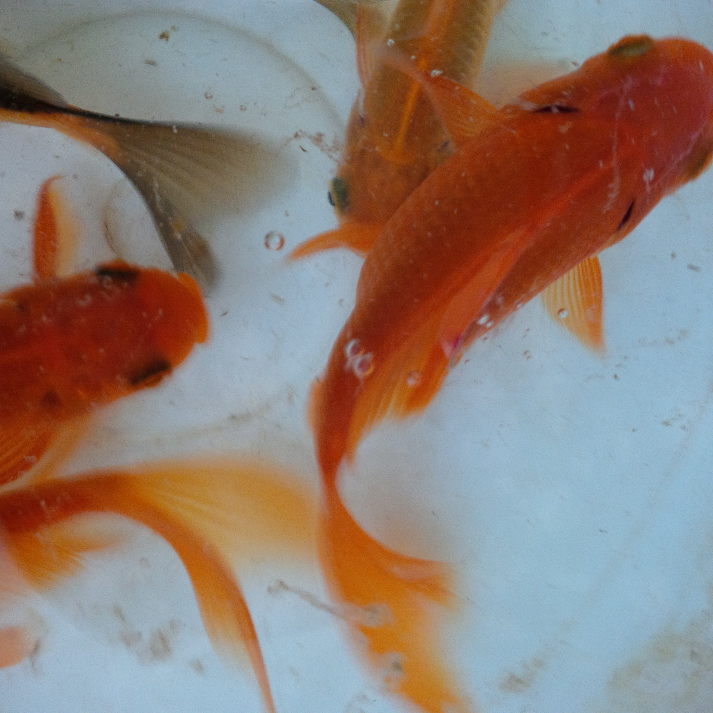 Goldfish (for Aquarium | Fish Tanks)