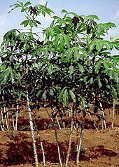 PROBLEMS IN CASSAVA PRODUCTION IN NIGERIA