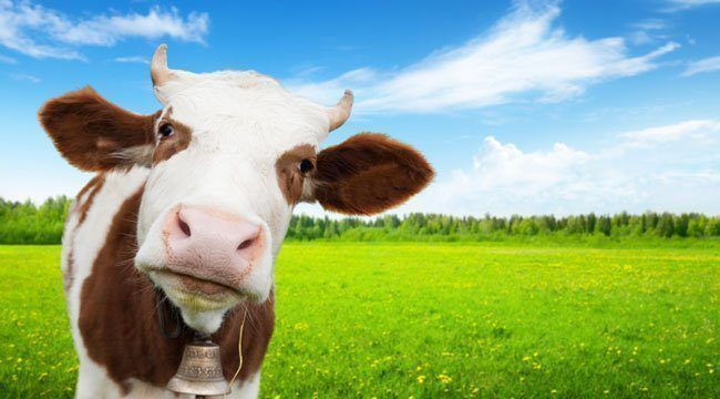 RESPIRATORY DISEASES IN DAIRY FARMS