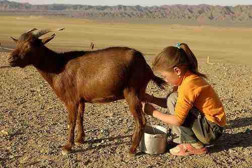 Goat-Milk2