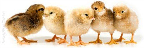 Chicks Hub